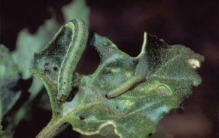 Αντιμετώπιση πράσινου Σερρώνσκουληκιού