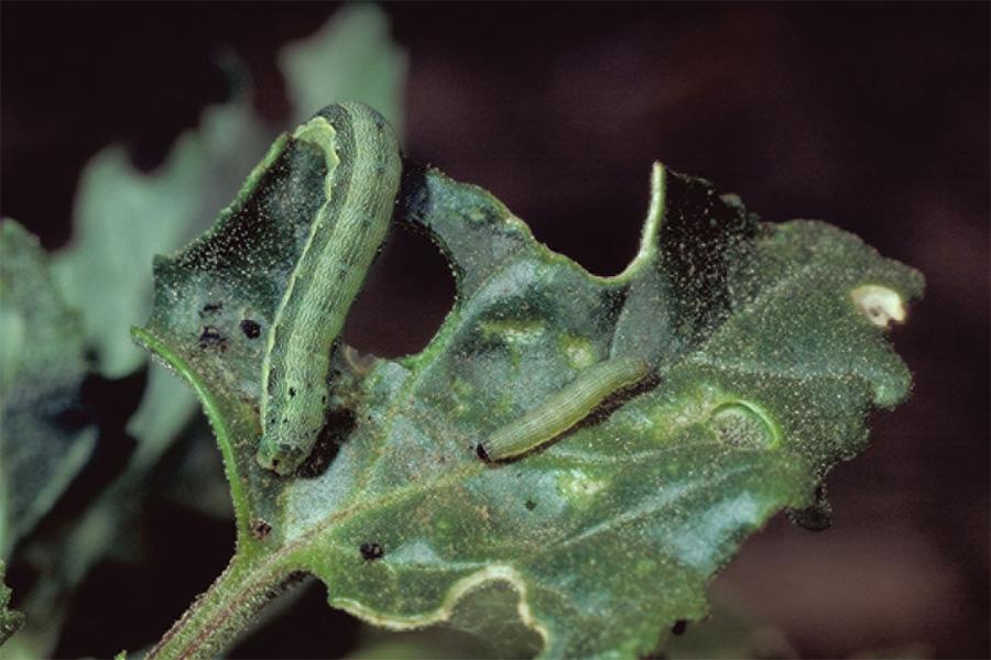 Αντιμετώπιση πράσινου σκουληκιού