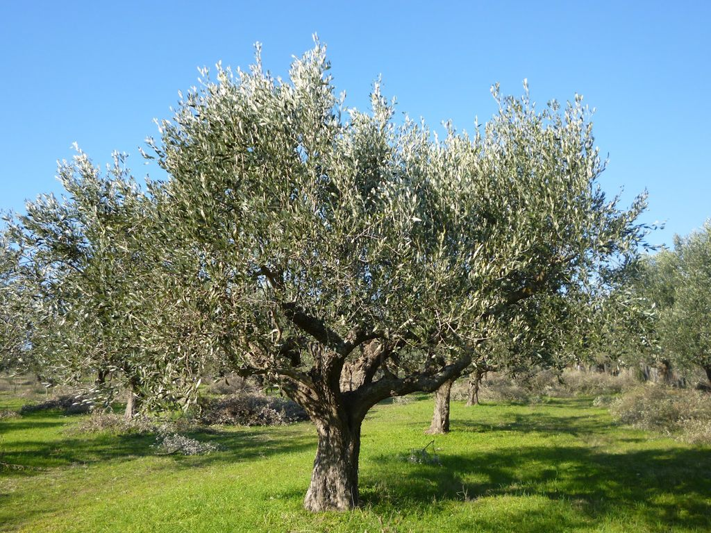 ελιά ελαιόλαδο ARTOLIO αντιμετώπιση εντόμων Ελλάδα προκαταβολών Ελαιοπαραγωγοί