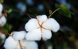 Φυτοπροστασία αποφύλλωση ανάπτυξης οδηγίες Βαμβακιού