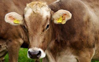 Βιολογική κτηνοτρόφοι πριμ προκήρυξη αυτόχθονες φυλές